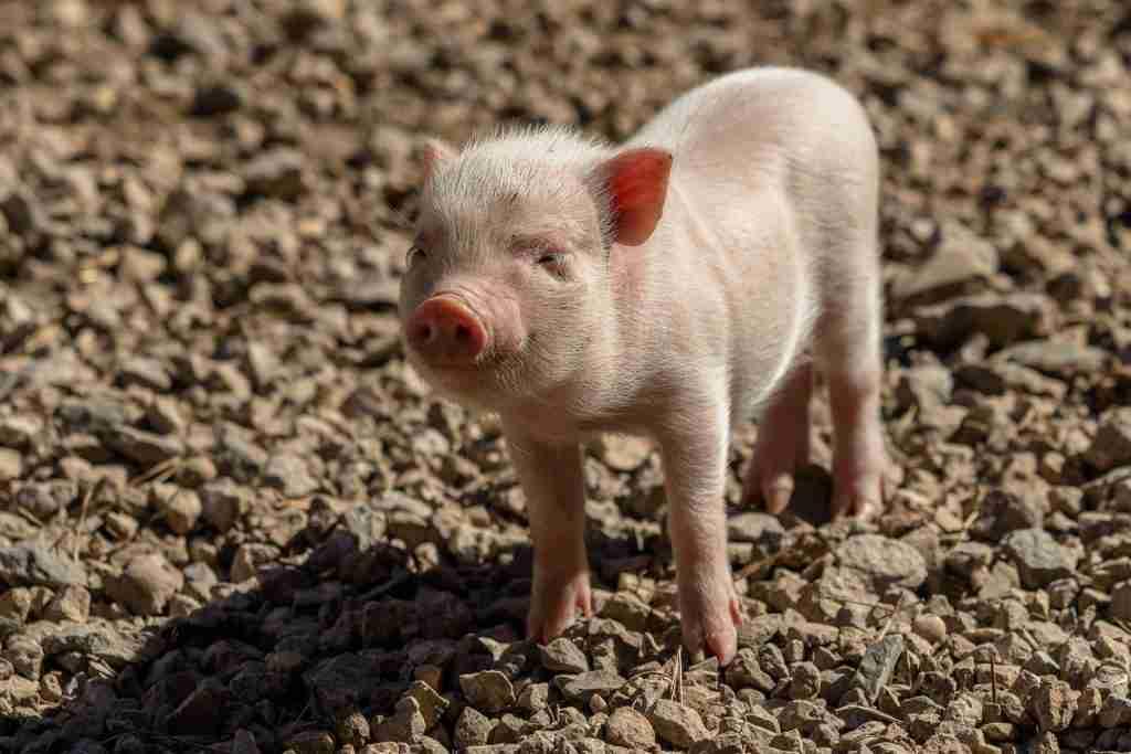 Cucciolo di maialino in primo piano per l'articolo Gli animali sono esseri senzienti e intelligenti: non cibo