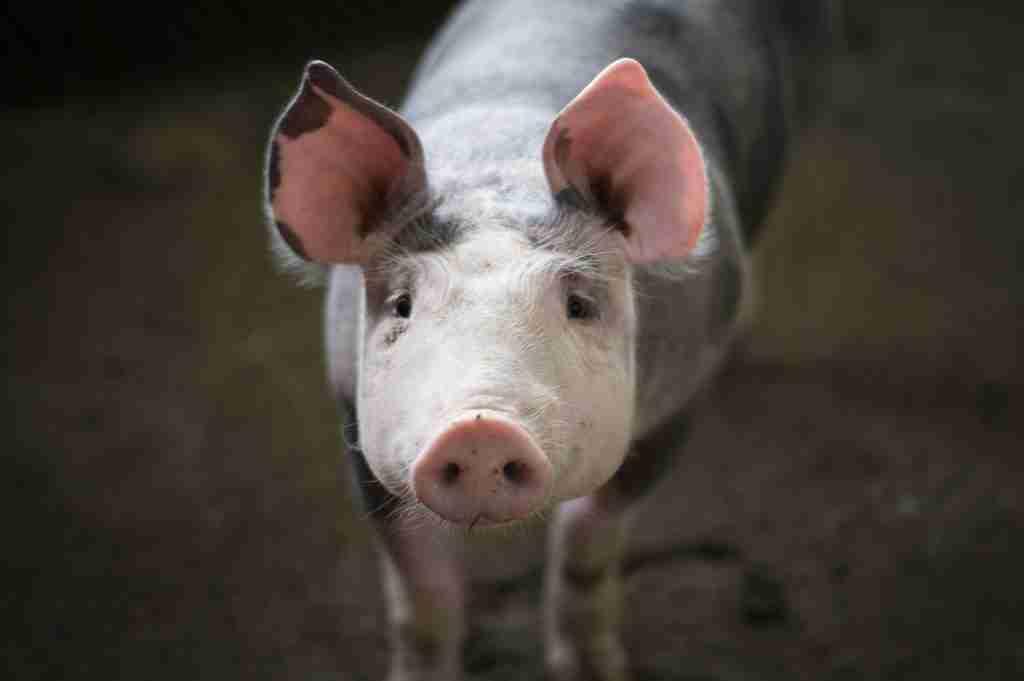 Carne di maiale: basta 1 motivo per non mangiarla, ne hai 3