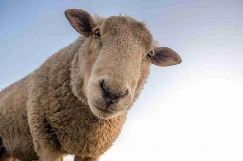 Primo piano di una pecora che ti osserva per l'articolo Rifugi per animali: perché visitarli e dove si trovano