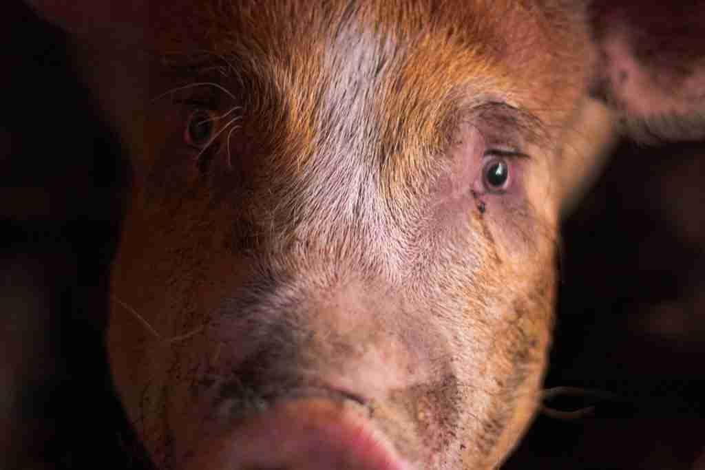 Sguardo molto intenso e triste di un maiale per l'articolo Carne di maiale: basta 1 motivo per non mangiarla, ne hai 3