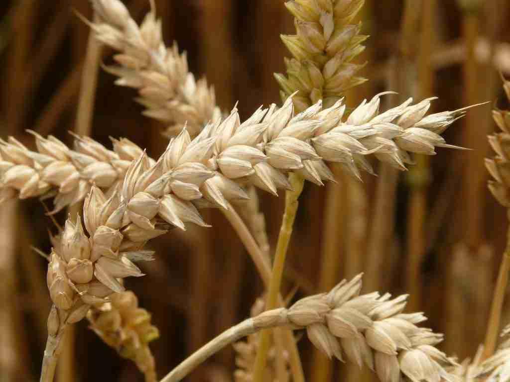 Spighe di grano in primissimo piano
