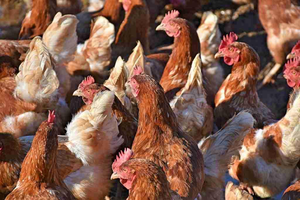 Polli e galline ammassati per l'articolo Carne di pollo: perché fa bene solo all'industria avicola