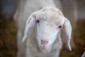 Primo piano di un agnello che ti guarda negli occhi per Allevamenti intensivi. Ti fidi di chi è spietato con gli animali?