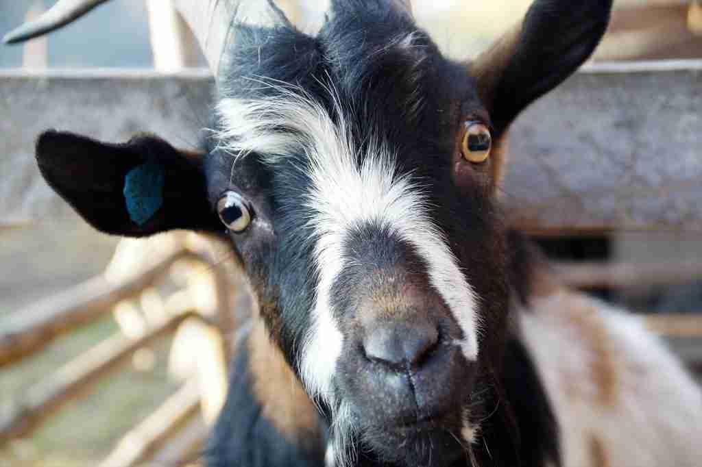 Primo piano di una capra