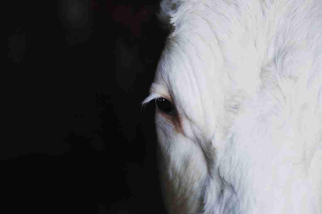 Primo piano molto stretto di un bovino per l'articolo I macelli: l'orrore che ti viene tenuto nascosto