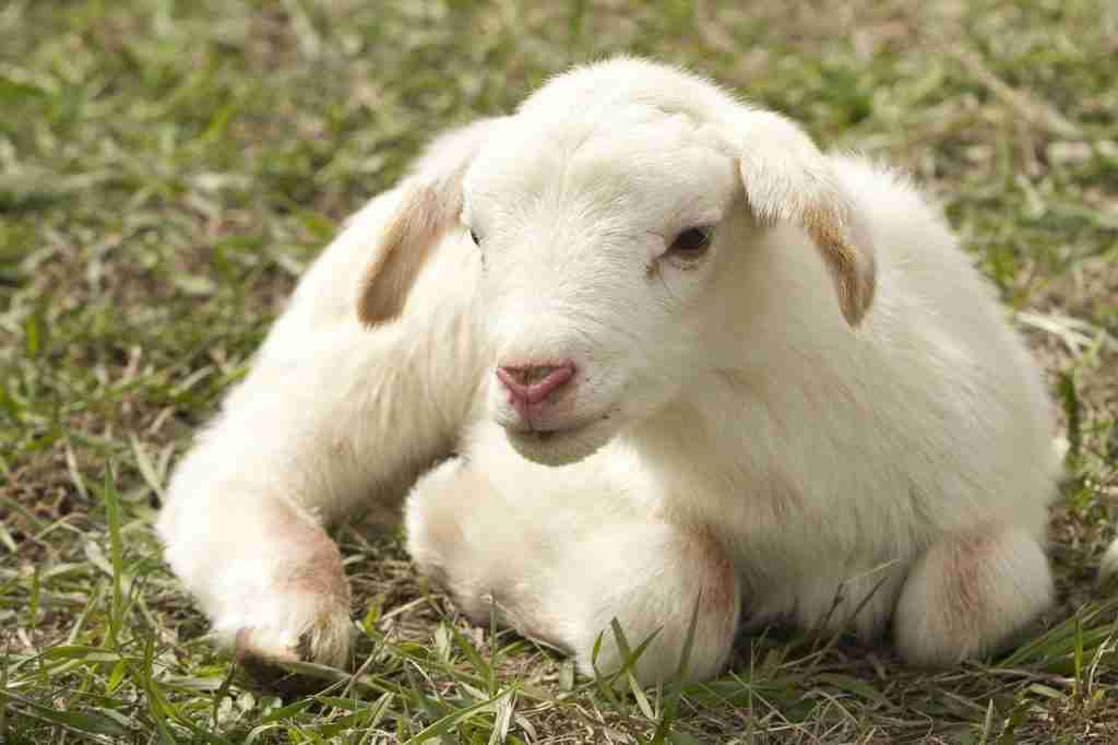 Agnellino sul prato per l'articolo Questo blog? Una voce in più in difesa degli animali