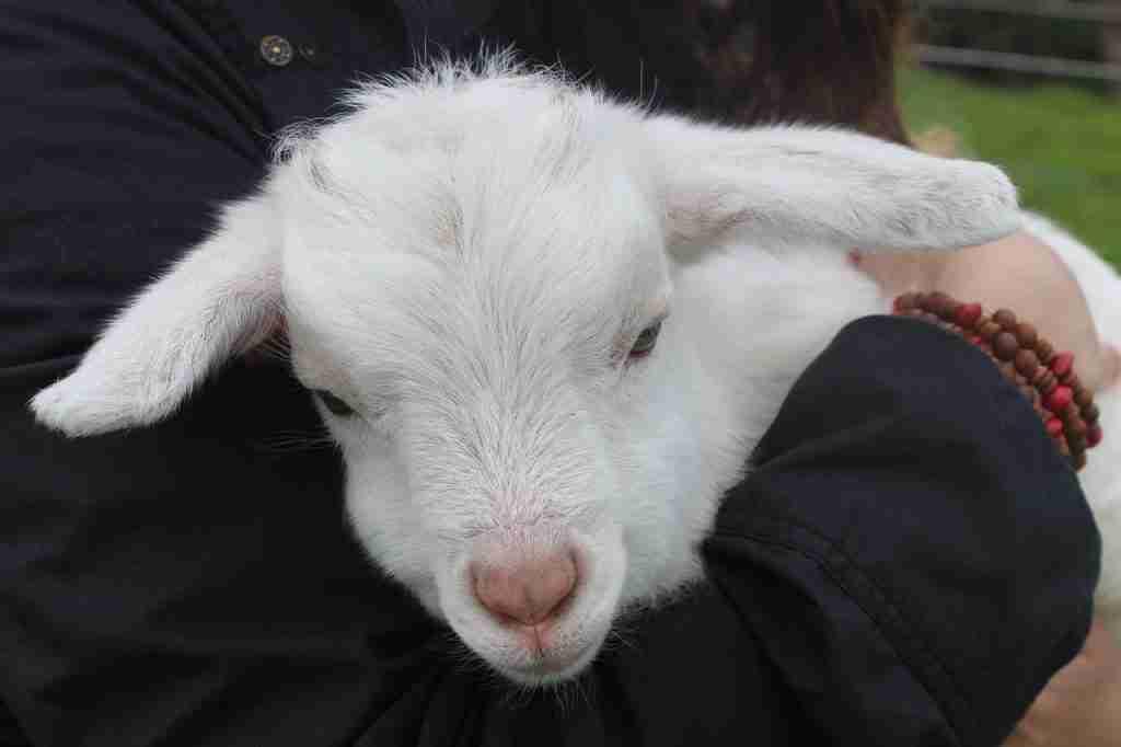 Agnellino in braccio per l'articolo nche gli animali: citazioni e non solo